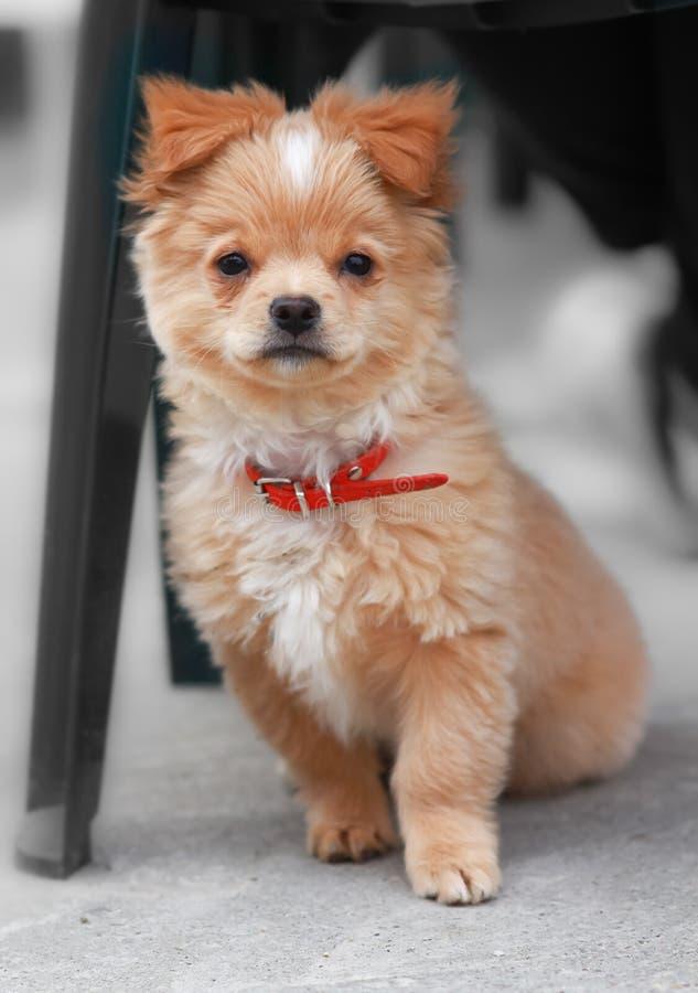 Αρκετά γαλλικό poodle σκυλάκι   στοκ φωτογραφία με δικαίωμα ελεύθερης χρήσης