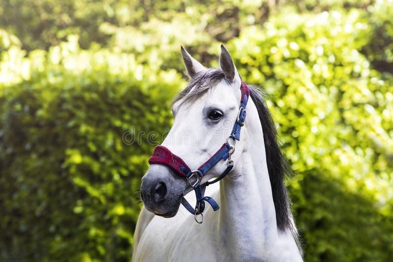 Αρκετά γκρίζο άλογο στο επικεφαλής περιλαίμιο μπροστά από τα δέντρα στοκ εικόνες