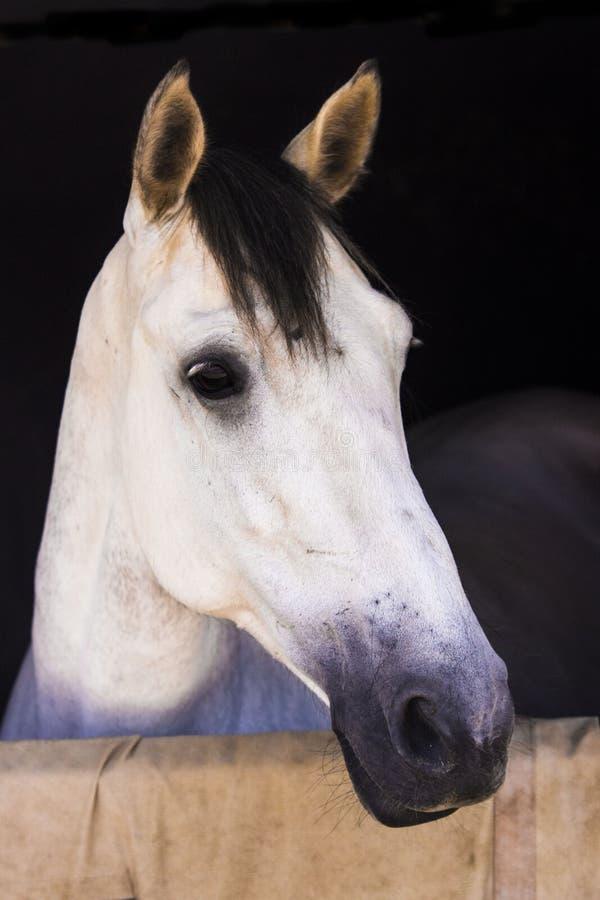 Αρκετά γκρίζο άλογο headshot στοκ εικόνα με δικαίωμα ελεύθερης χρήσης