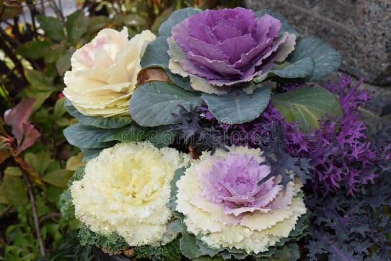 αρκετά διακοσμητικά λουλούδια χειμερινών λάχανων στοκ εικόνες