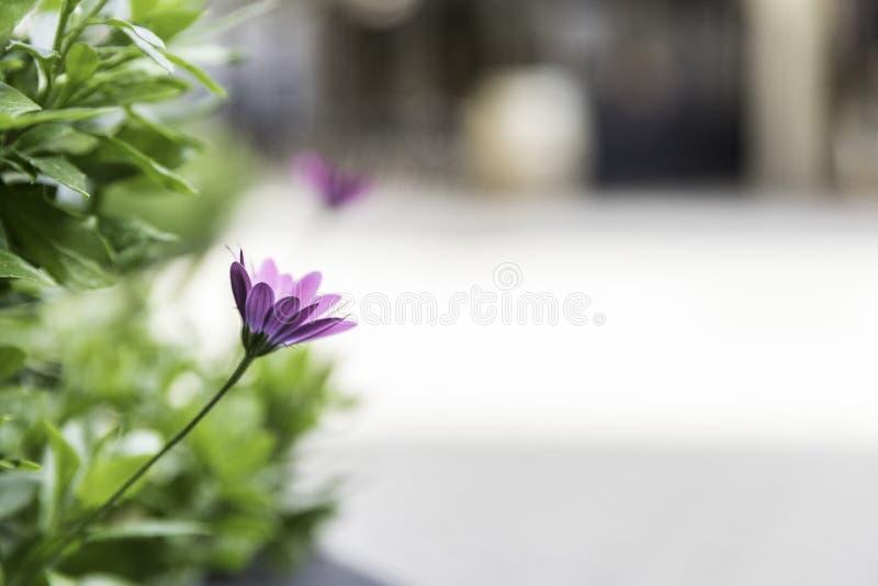 Αρκετά ιώδες νηφάλιο ελαφρύ υπόβαθρο λουλουδιών στη αστική περιοχή στοκ φωτογραφίες με δικαίωμα ελεύθερης χρήσης