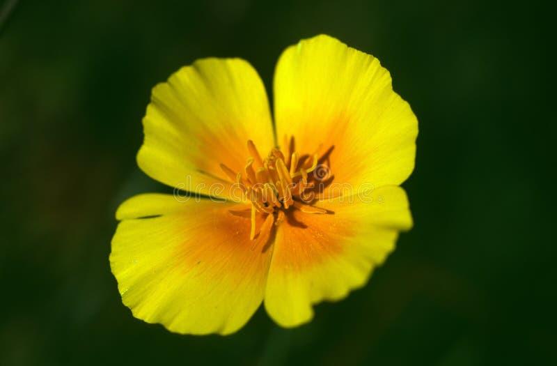 Αρκετά κίτρινο και πορτοκαλί λουλούδι ενάντια σε ένα πράσινο σκηνικό στοκ εικόνες
