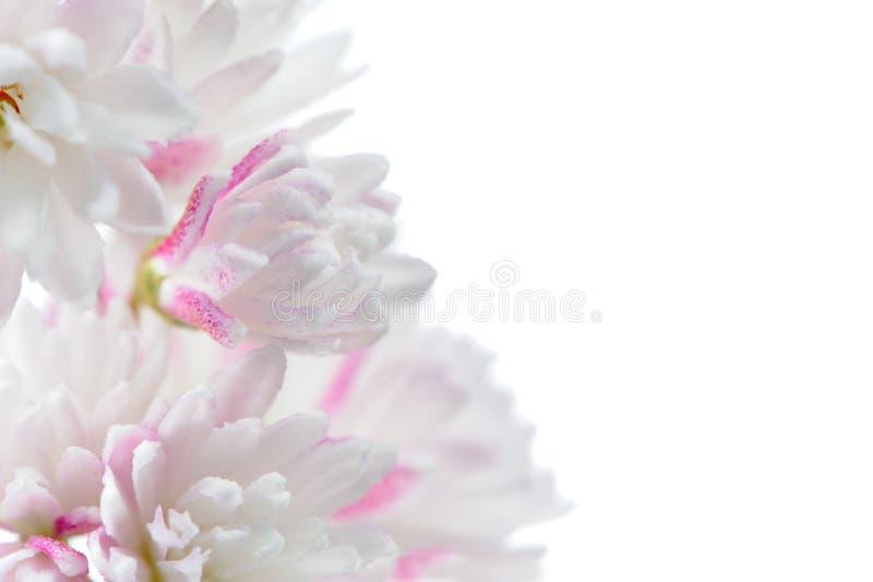 Αρκετά ροζ άσπρα λουλούδια Deutzia Scabra στο άσπρο υπόβαθρο στοκ εικόνα
