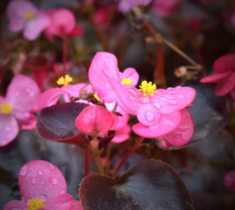 Αρκετά ρόδινα λεπτοκαμωμένα λουλούδια με τη δροσιά στοκ φωτογραφία