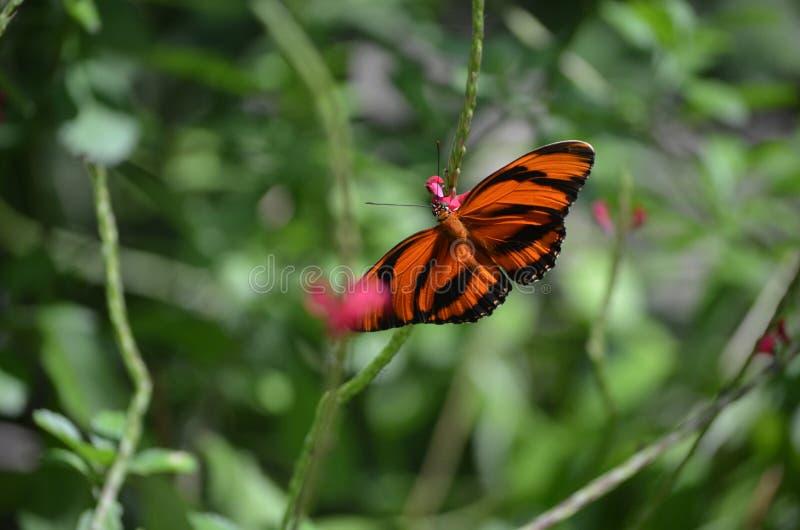 Αρκετά δρύινη πεταλούδα τιγρών με τα μακριά φτερά στοκ εικόνες με δικαίωμα ελεύθερης χρήσης