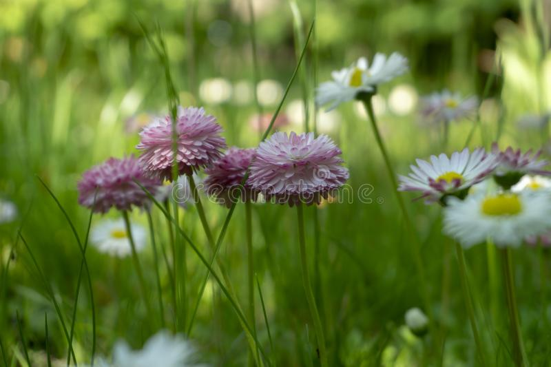 Αρκετά φίνα ρόδινα wildflowers που αυξάνονται σε ένα λιβάδι στοκ εικόνες με δικαίωμα ελεύθερης χρήσης