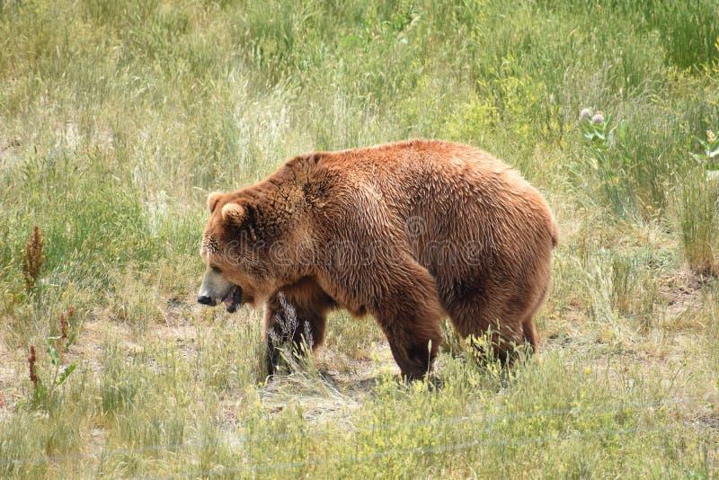 Αρκούδα γκρίζλι που περπατάει στην περιοχή των γρασιδιών στοκ φωτογραφία