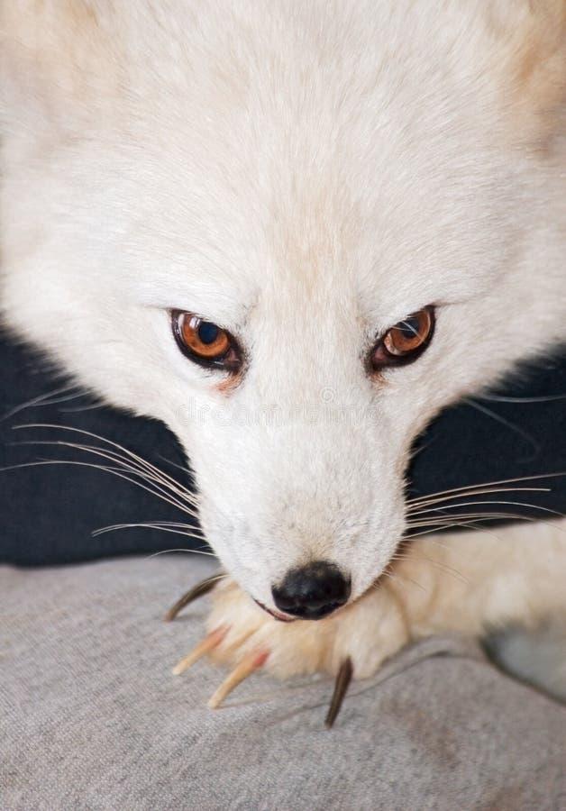 αρκτική αλεπού νυχιών στοκ φωτογραφίες με δικαίωμα ελεύθερης χρήσης