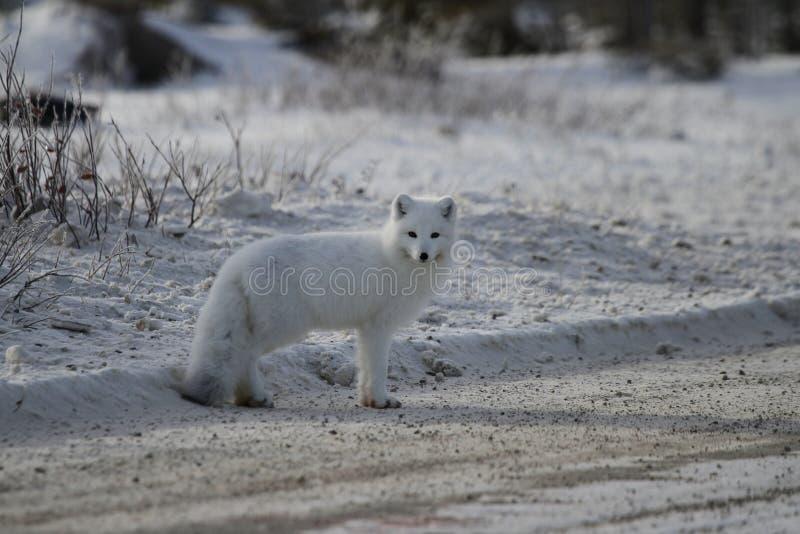 Αρκτική αλεπού Vulpes Lagopus που στέκεται στην πλευρά ενός δρόμου αμμοχάλικου κοντά σε Churchill στοκ φωτογραφία με δικαίωμα ελεύθερης χρήσης