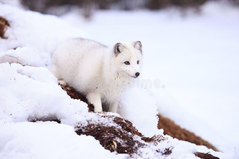 Αρκτική αλεπού από το κρησφύγετο στοκ φωτογραφία με δικαίωμα ελεύθερης χρήσης