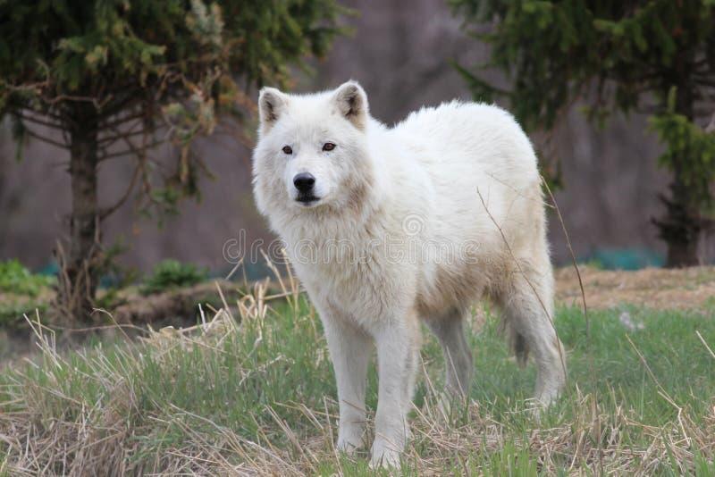 Αρκτικός (άσπρος) λύκος στοκ φωτογραφία