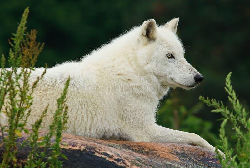 Αρκτικός λύκος που στηρίζεται στο βράχο στοκ φωτογραφία