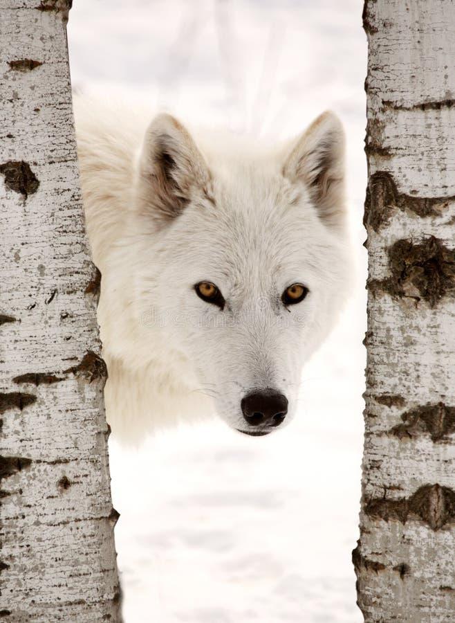 αρκτικός λύκος στοκ εικόνα
