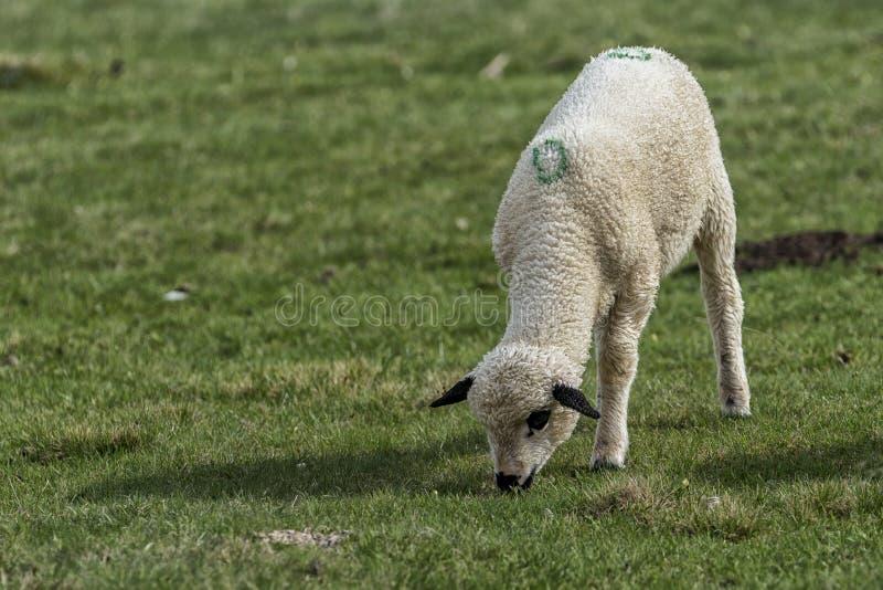 Αρνιά και πρόβατα σε έναν πράσινο τομέα στοκ εικόνες