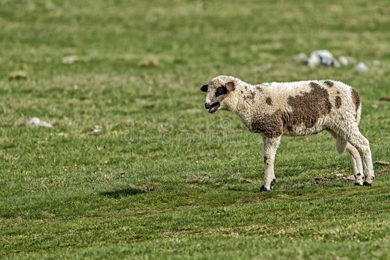 Αρνιά και πρόβατα σε έναν πράσινο τομέα στοκ εικόνα