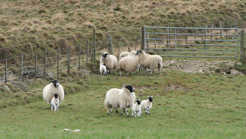 Download αρνιά που τρέχουν τα πρόβατ&al Στοκ Εικόνες - εικόνα από αρνιά, τρέξιμο: 2225388