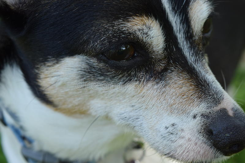 Αρουραίος προσώπου σκυλιών terroir χαριτωμένος στοκ εικόνες