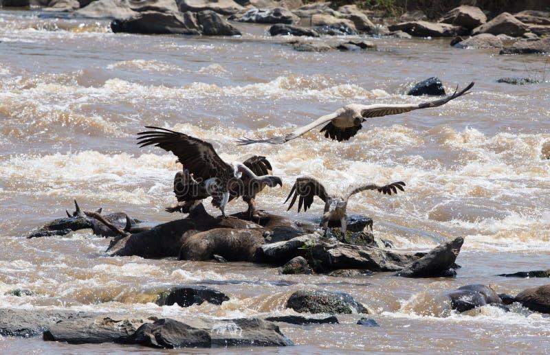 Αρπακτική συνεδρίαση πουλιών σε έναν βράχο κοντά στον ποταμό Κένυα Τανζανία σαφάρι ανατολικό maasai Μάρτιος χορού της Αφρικής 5 2 στοκ φωτογραφίες με δικαίωμα ελεύθερης χρήσης
