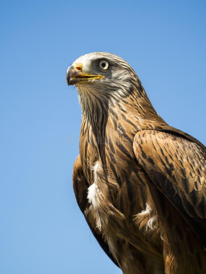 Αρπακτικός στενός επάνω πουλιών στοκ εικόνες