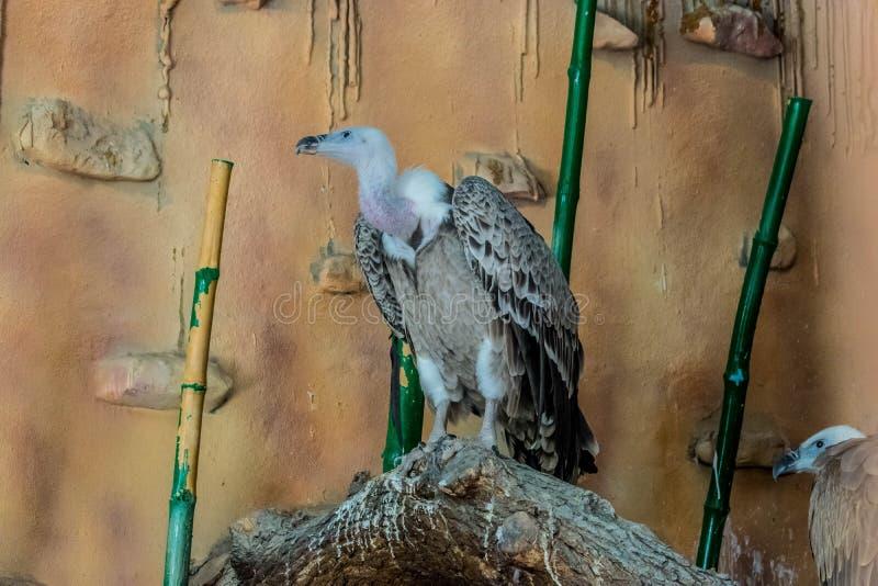 Αρπακτικό πουλί gyps στην αιχμαλωσία στοκ φωτογραφία με δικαίωμα ελεύθερης χρήσης