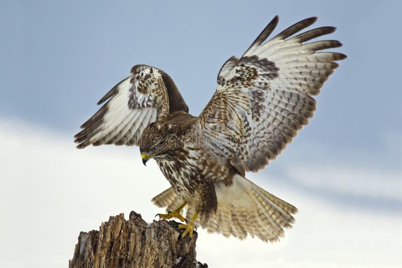 Αρπακτικό πουλί - κοινή καρακάξα που προσγειώνεται σε ένα κολόβωμα δέντρων στοκ εικόνες