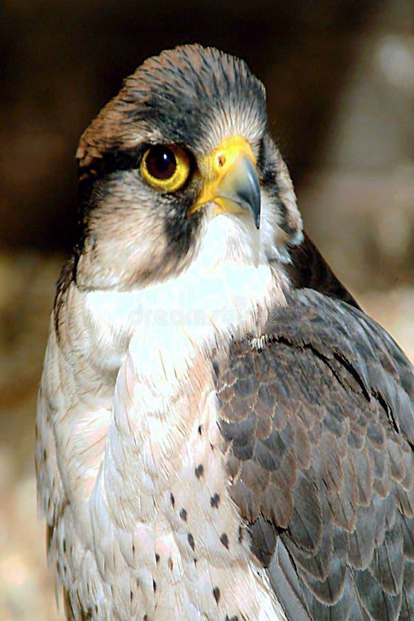 αρπακτικό πτηνό Στοκ εικόνες με δικαίωμα ελεύθερης χρήσης