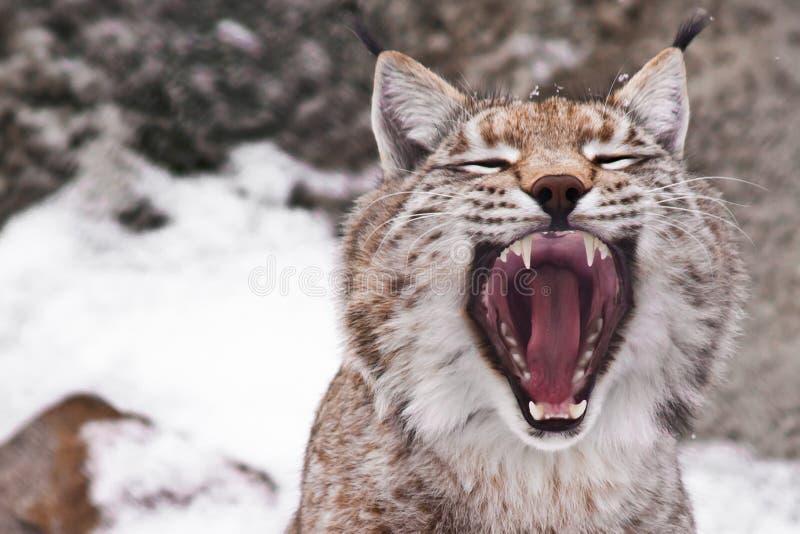 Αρπακτικό στόμα ανοικτό στοκ εικόνες