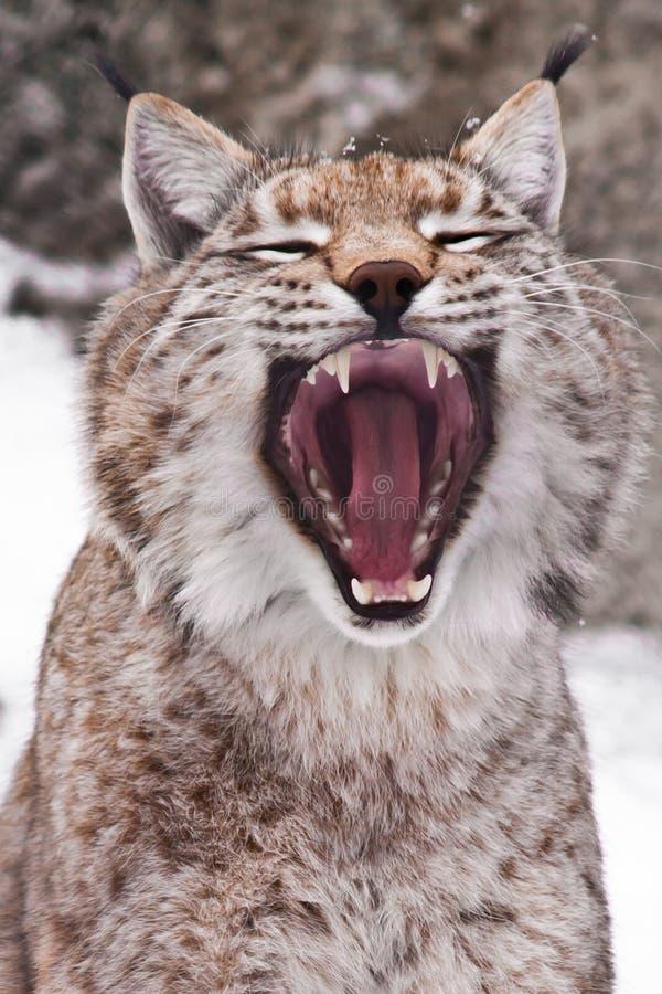Αρπακτικό στόμα ανοικτό στοκ φωτογραφία