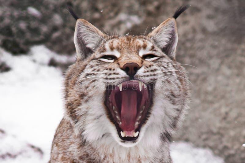 Αρπακτικό στόμα ανοικτό στοκ φωτογραφία με δικαίωμα ελεύθερης χρήσης
