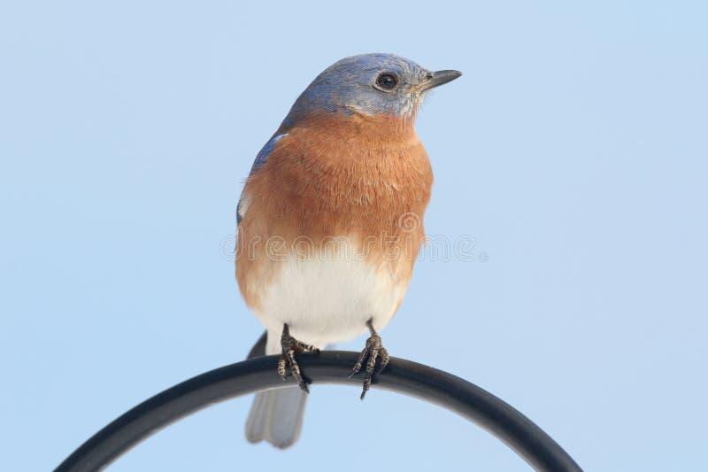 Αρσενικά ανατολικά sialis Bluebird Sialia στοκ φωτογραφία