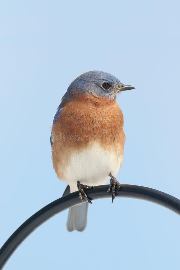 Αρσενικά ανατολικά sialis Bluebird Sialia στοκ εικόνα με δικαίωμα ελεύθερης χρήσης