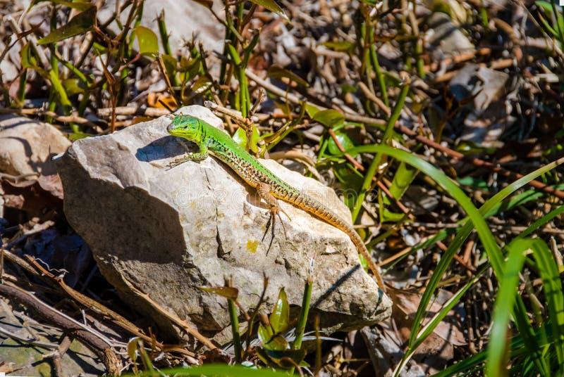 Αρσενικά ευρωπαϊκά πράσινα viridis lacerta σαυρών σε έναν βράχο στοκ εικόνες με δικαίωμα ελεύθερης χρήσης