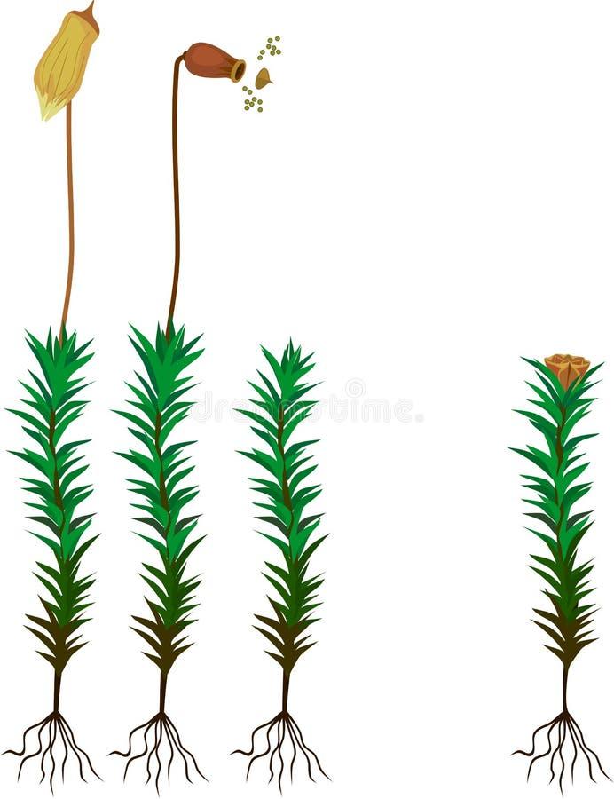 Αρσενικά και θηλυκά φυτοες του κοινής βρύου haircap ή της κοινότητας Polytrichum ελεύθερη απεικόνιση δικαιώματος