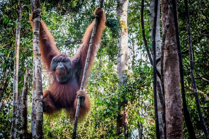 Αρσενικά orangutan σαλόνια σε ένα δέντρο στοκ φωτογραφία