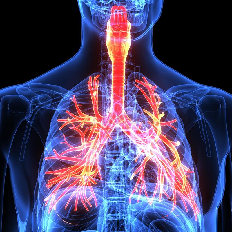 Αρσενική ανατομία του ανθρώπινου αναπνευστικού συστήματος στην ακτίνα X τρισδιάστατος δώστε στοκ φωτογραφίες