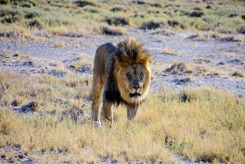 αρσενική κίνηση λιονταριώ&n στοκ φωτογραφίες με δικαίωμα ελεύθερης χρήσης