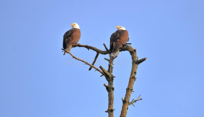 Αρσενική και θηλυκή διάκριση αετών στοκ εικόνα