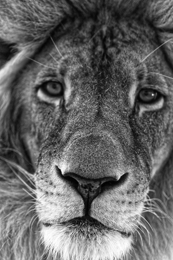 Αρσενική κινηματογράφηση σε πρώτο πλάνο προσώπου λιονταριών στοκ εικόνα