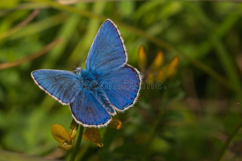 Αρσενική κοινή μπλε πεταλούδα, Polyommatus Ίκαρος στοκ φωτογραφία με δικαίωμα ελεύθερης χρήσης