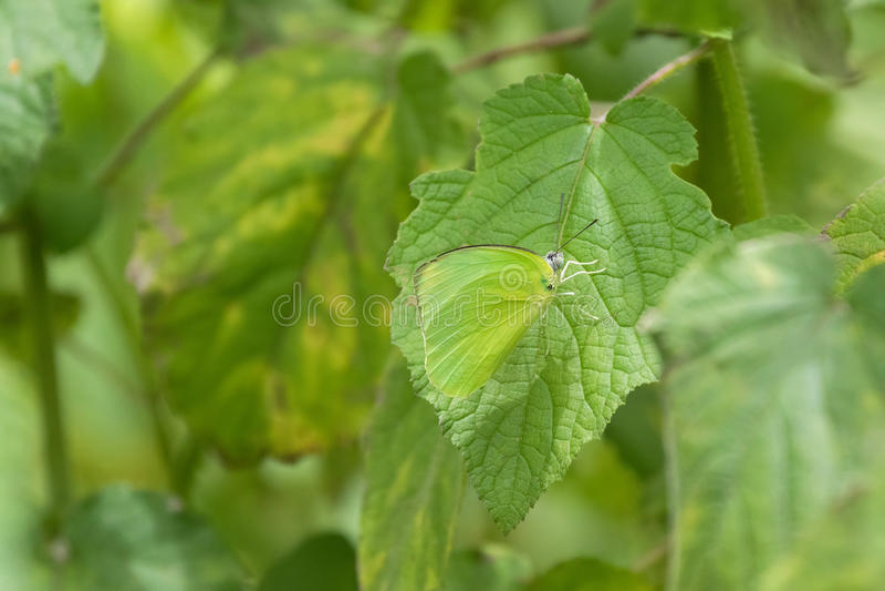 Αρσενική κοινή πεταλούδα μεταναστών λεμονιών στο φωτεινό πράσινο που σκαρφαλώνει επάνω στοκ φωτογραφίες με δικαίωμα ελεύθερης χρήσης