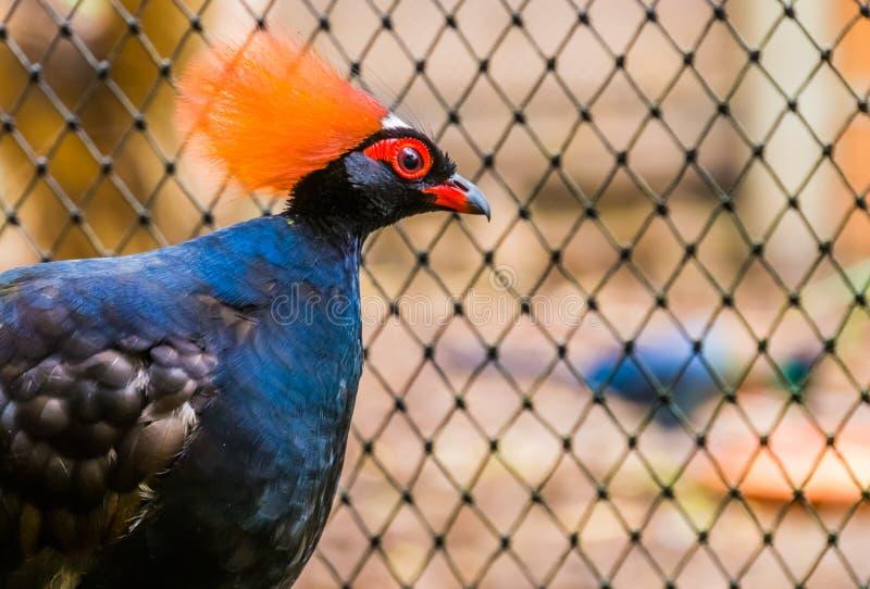 Αρσενική κόκκινη στεμμένη ξύλινη πέρδικα με το πρόσωπό του στην κινηματογράφηση σε πρώτο πλάνο, αστείο τροπικό πουλί από την Ασία στοκ εικόνες με δικαίωμα ελεύθερης χρήσης
