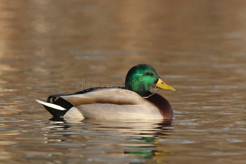 Αρσενική πάπια πρασινολαιμών που κολυμπά στο χρυσό νερό στοκ φωτογραφία με δικαίωμα ελεύθερης χρήσης