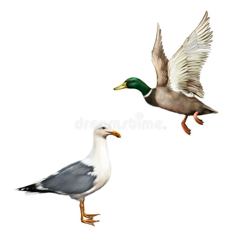Αρσενική πάπια πρασινολαιμών που πετά, άσπρο seagull πουλιών διανυσματική απεικόνιση