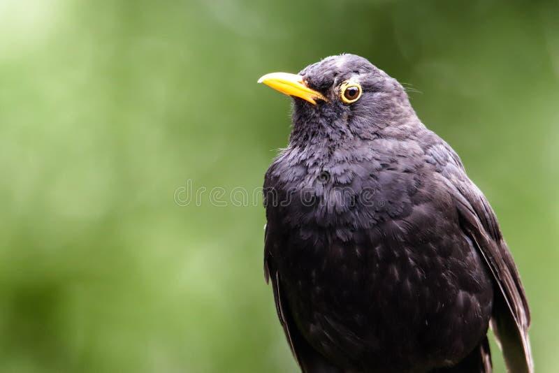 Αρσενική παρατήρηση λεπτομερειών πουλιών κοτσύφων Μαύρη συνεδρίαση Songbird κοτσύφων που κοιτάζει με από το πράσινο υπόβαθρο boke στοκ φωτογραφία με δικαίωμα ελεύθερης χρήσης