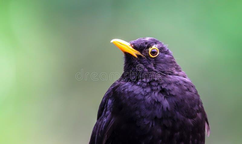Αρσενική παρατήρηση λεπτομερειών πουλιών κοτσύφων Μαύρη συνεδρίαση Songbird κοτσύφων που κοιτάζει με από το πράσινο υπόβαθρο boke στοκ εικόνες