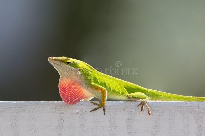 Αρσενική σαύρα της Καρολίνας Anole στοκ φωτογραφία με δικαίωμα ελεύθερης χρήσης