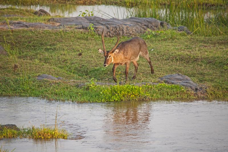 Αρσενική σειρά 1 περάσματος ποταμών Waterbuck στοκ εικόνες