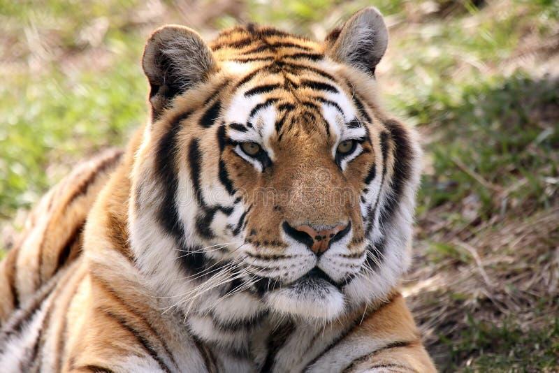 αρσενική σιβηρική τίγρη στοκ εικόνες