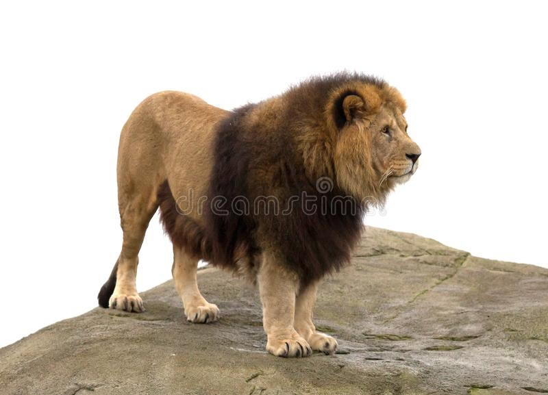 Αρσενική στάση λιονταριών στοκ εικόνες με δικαίωμα ελεύθερης χρήσης