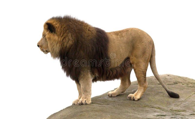 Αρσενική στάση λιονταριών στοκ εικόνα με δικαίωμα ελεύθερης χρήσης